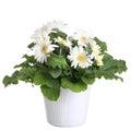 Gerber's  flowers in a flowerpot Stock Images