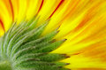 Gerbera Royalty Free Stock Photography