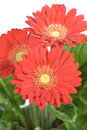Gerbera Photos stock