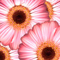 Gerbera beautiful bright pink flowers Royalty Free Stock Photos