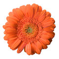 Gerbera Bloom Stock Photo