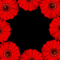 Gerbera bright red flowers as border on black background Royalty Free Stock Photo