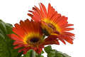 Gerbera close up photo of a flower Royalty Free Stock Image