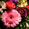 Pink gerbera in multicolored blooming spring flower bouquet with red rose buttercup and white gerbera. Royalty Free Stock Photo