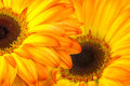 Gerbera daisies close up of Stock Images