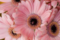 Gerbera daisy background macro series flowers purple Stock Images