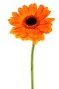 Gerbera Daisy orange Royalty Free Stock Photo