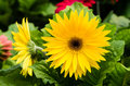 Gerbera daisy plant in bloom Royalty Free Stock Photo