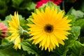 Gerbera daisy plant in bloom Royalty Free Stock Photo