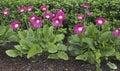 Gerbera daisy plants in garden jamesonii Royalty Free Stock Images