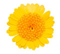 Gerbera Daisy yellow flower isolated on white.