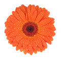 Gerbera with drops Royalty Free Stock Images