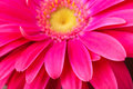 Gerbera flower for a background Royalty Free Stock Photo