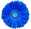 gerbera flower blue. Flower isolated on a white background. No shadows with clipping path. Close-up. Royalty Free Stock Photo