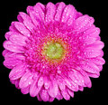 Gerbera flower head covered water drops isolated Stock Photo