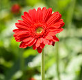 Gerbera Flower With Nature Bac...