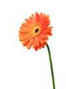 Gerbera flower one orange isolated on white background Stock Photo