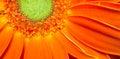 Gerbera Flower Orange Yellow Petals Green Carpels Close up