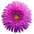 Gerbera flower purple. Flower isolated on white background. No shadows with clipping path. Close-up. Royalty Free Stock Photo