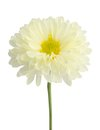 Gerbera flower white isolated on white background Stock Image