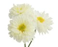Gerbera flower white isolated on white background Royalty Free Stock Images