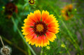 Gerbera flower in wildlife yellow with orange center Stock Image