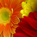 Gerbera flowers Stock Photo