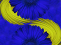 Gerbera  flowers  blue.  Closeup.  beautiful  two  flower.  blue-yellow background. Flower composition. Royalty Free Stock Photo