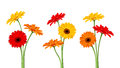Gerbera flowers. Vector illustration. Royalty Free Stock Photo