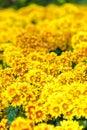 Gerbera flowers yellow gerbera beautiful flower in spring Stock Image