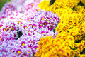 Gerbera flowers yellow gerbera beautiful flower in spring Royalty Free Stock Photo