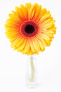 Gerbera in glass vase on white aurantiaca background Royalty Free Stock Photography