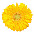 Gerbera jaune Photos stock