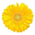 Gerbera kolor żółty Zdjęcia Stock