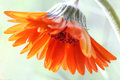 Gerbera an orange flower named Stock Images
