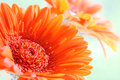 Gerbera an orange flower named Royalty Free Stock Photo