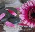 Gerbera and Pebble Royalty Free Stock Photo