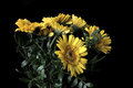 Gerbera premium yellow flower with cool black background is a genus of ornamental plants from the sunflower family asteraceae it Stock Image