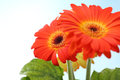 Gerbera sunflower plant on light blue background shallow dof Stock Photos