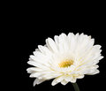 Gerbera a white daisy isolated on a black background Royalty Free Stock Images