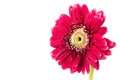Gerbera on white flower isolated Royalty Free Stock Photography