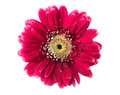 Gerbera on white red isolated Stock Photo