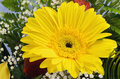 Gerbera yellow flower over green leaves Royalty Free Stock Photos