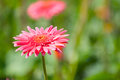 Gerberas pink flower in garden compositae Royalty Free Stock Photography