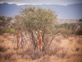 Gerenuk eating from trees with three others Stock Images