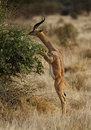 Gerenuk eating on two legs Royalty Free Stock Photo