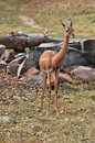 Gerenuk female or waller s gazelle is found in east africa somalia kenya and tanzania only the adult males have horns they are Stock Photos