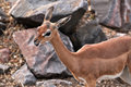 Gerenuk female or waller s gazelle is found in east africa somalia kenya and tanzania only the adult males have horns they are Royalty Free Stock Photo