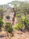 Gerenuk (Litocranius walleri) feeding Royalty Free Stock Photo
