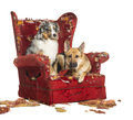 German and australian shepherd and poodle on destroyed armchair a isolated white Stock Photography